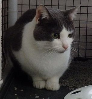 Domestic Shorthair Cat for adoption in Speedway, Indiana - Zimmer