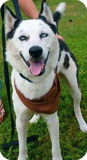 Husky Mix Dog for adoption in New Smyrna Beach, Florida - Max