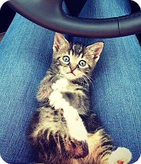 Domestic Shorthair Kitten for adoption in Homestead, Florida - Peanut (Fran)