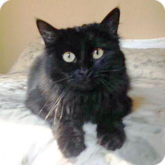 Domestic Longhair Cat for adoption in Arlington/Ft Worth, Texas - Kloe