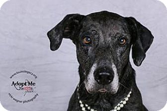 Great Dane/Greyhound Mix Dog for adoption in Cincinnati, Ohio - Nellie