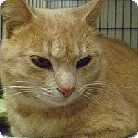 Adopt A Pet :: Pretty Kitty - Hamburg, NY