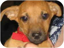 Jack Russell Terrier/Chihuahua Mix Puppy for adoption in State College, Pennsylvania - BELLE