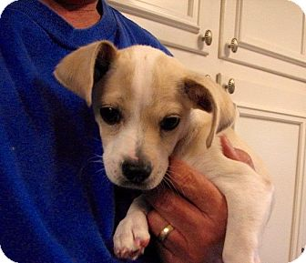 Jack Russell Terrier/Beagle Mix Puppy for adoption in Nanuet, New York - Paco