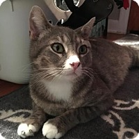 Domestic Shorthair Cat for adoption in Carroll, Iowa - Milly
