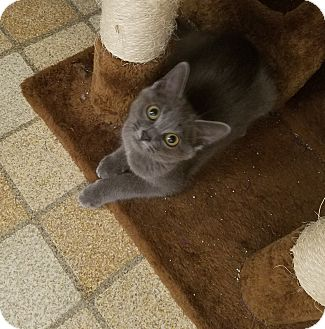 Domestic Shorthair Kitten for adoption in Cincinnati, Ohio - Bridgette