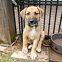 Shepherd (Unknown Type)/Labrador Retriever Mix Puppy for adoption in Alpharetta, Georgia - Nadal Wimbledon