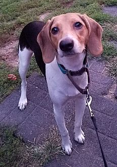 Beagle/Treeing Walker Coonhound Mix Dog for adoption in Wood Dale, Illinois - Sophie- Foster to Adopt