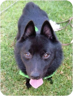 Schipperke Dog for adoption in El Segundo, California - Elvis