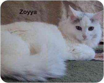 Domestic Longhair Cat for adoption in Portland, Oregon - Zoyya