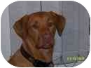 Labrador Retriever/Vizsla Mix Dog for adoption in Naugatuck, Connecticut - Harley