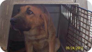Bloodhound Mix Dog for adoption in Lewisburg, Tennessee - Sophie