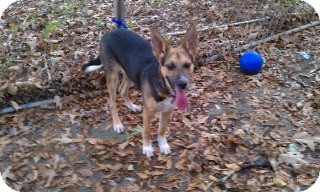 German Shepherd Dog Mix Puppy for adoption in Greeneville, Tennessee - Ty