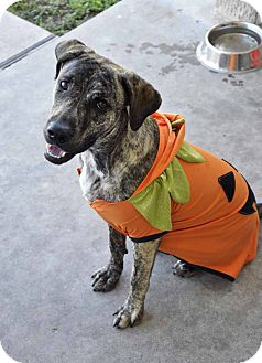 Labrador Retriever Mix Dog for adoption in Corpus Christi, Texas - Tiger