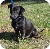 Chihuahua Mix Dog for adoption in Allentown, Pennsylvania - Mac