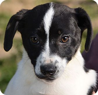 Labrador Retriever/Pointer Mix Puppy for adoption in Staunton, Virginia - Sasha