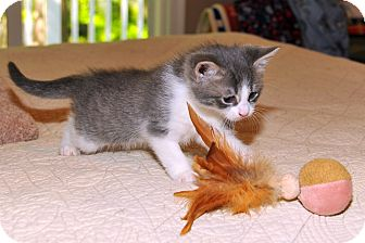 Domestic Shorthair Kitten for adoption in Chester, Maryland - Skeeter