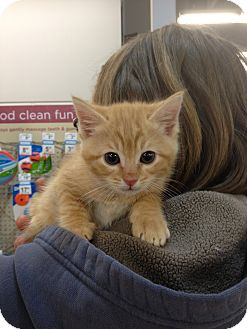 Domestic Shorthair Kitten for adoption in Ogden, Utah - Nixon