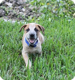 Australian Cattle Dog/American Staffordshire Terrier Mix Puppy for adoption in Ft. Myers, Florida - Stitch