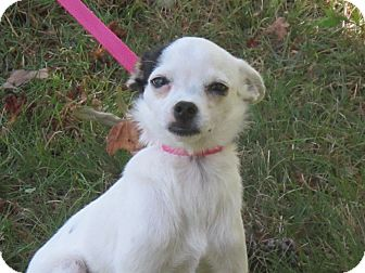 Chihuahua/Terrier (Unknown Type, Small) Mix Puppy for adoption in Hagerstown, Maryland - Aimee