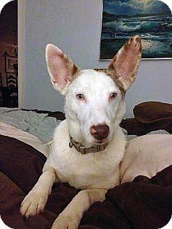 Schipperke Mix Dog for adoption in Manhasset, New York - Amelia