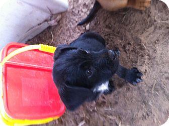 Terrier (Unknown Type, Medium)/Australian Kelpie Mix Puppy for adoption in College Station, Texas - Elyan