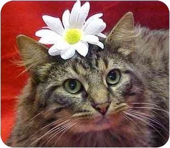 Maine Coon Cat for adoption in Arlington, Virginia - Burgess