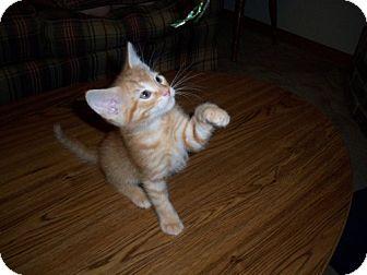 Domestic Shorthair Kitten for adoption in Parkville, Missouri - Wally