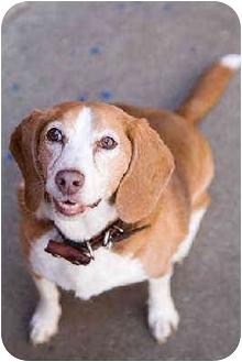 Beagle Mix Dog for adoption in Portland, Oregon - Copper