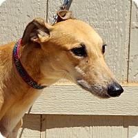 Adopt A Pet :: Scarlett - Cottonwood, AZ