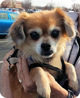 Cavalier King Charles Spaniel/King Charles Spaniel Mix Dog for adoption in Fresno, California - Elsie