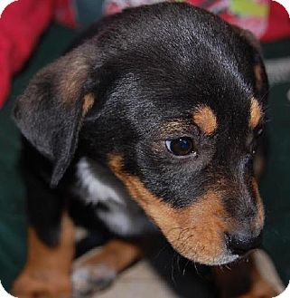 Labrador Retriever Mix Puppy for adoption in Cedar Creek, Texas - Star