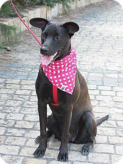 Labrador Retriever Mix Puppy for adoption in Castro Valley, California - MeiBo