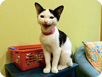 Domestic Shorthair Kitten for adoption in The Colony, Texas - Cookie