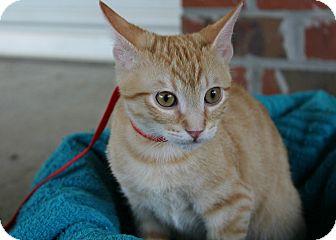 Domestic Shorthair Kitten for adoption in Ocean Springs, Mississippi - Oliver