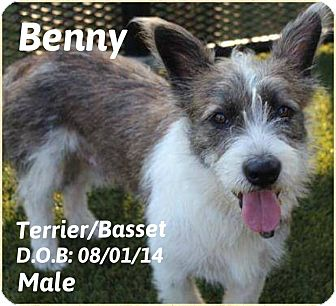 Terrier (Unknown Type, Small)/Basset Hound Mix Dog for adoption in DeForest, Wisconsin - Benny