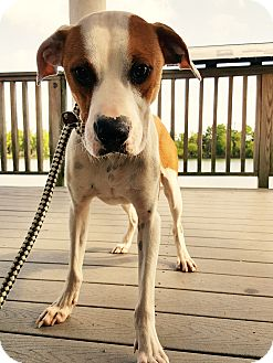 Hound (Unknown Type)/Pit Bull Terrier Mix Dog for adoption in Seattle, Washington - Keeper