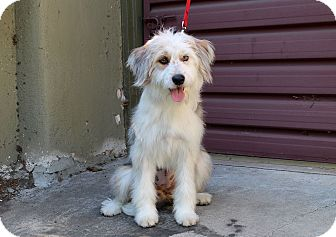 Wheaten Terrier/Schnauzer (Miniature) Mix Dog for adoption in Los Angeles, California - Gadget