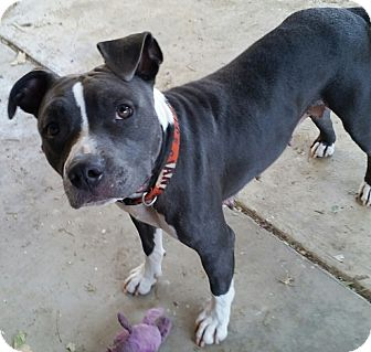 Pit Bull Terrier/Terrier (Unknown Type, Medium) Mix Dog for adoption in Woodland, California - Ruby Bell