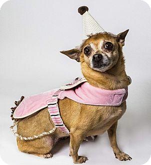 Chihuahua Mix Dog for adoption in Yelm, Washington - Leslie