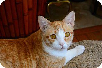 Domestic Shorthair Cat for adoption in Buford, Georgia - Cinnamon