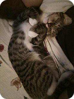 Domestic Shorthair Cat for adoption in Corona, California - Jack