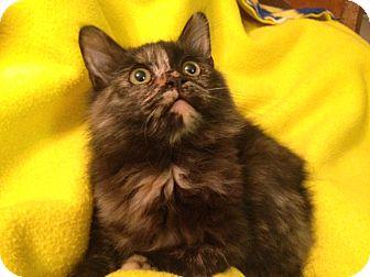 Domestic Longhair Kitten for adoption in Meridian, Idaho - Bugsy