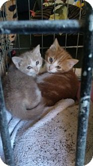 Domestic Shorthair Kitten for adoption in Delmont, Pennsylvania - Aiden