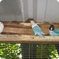 Adopt A Pet :: Lovebirds M/F - Christmas, FL