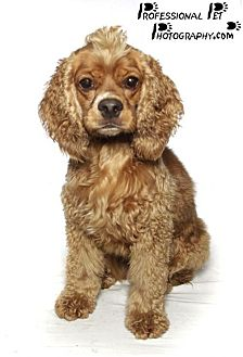 Cocker Spaniel Dog for adoption in Fort Lauderdale, Florida - Rocco