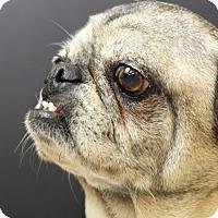 Adopt A Pet :: Meatball - Austin, TX