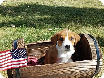 Collie Mix Puppy for adoption in Hainesville, Illinois - Justyce