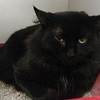 Domestic Mediumhair/Domestic Shorthair Mix Cat for adoption in Ashtabula, Ohio - Willie