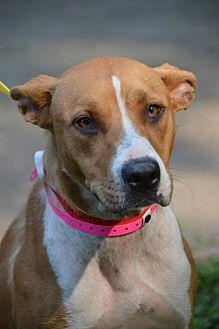 Harrier/Terrier (Unknown Type, Medium) Mix Dog for adoption in Brighton, Tennessee - Adara (fostered in TN)